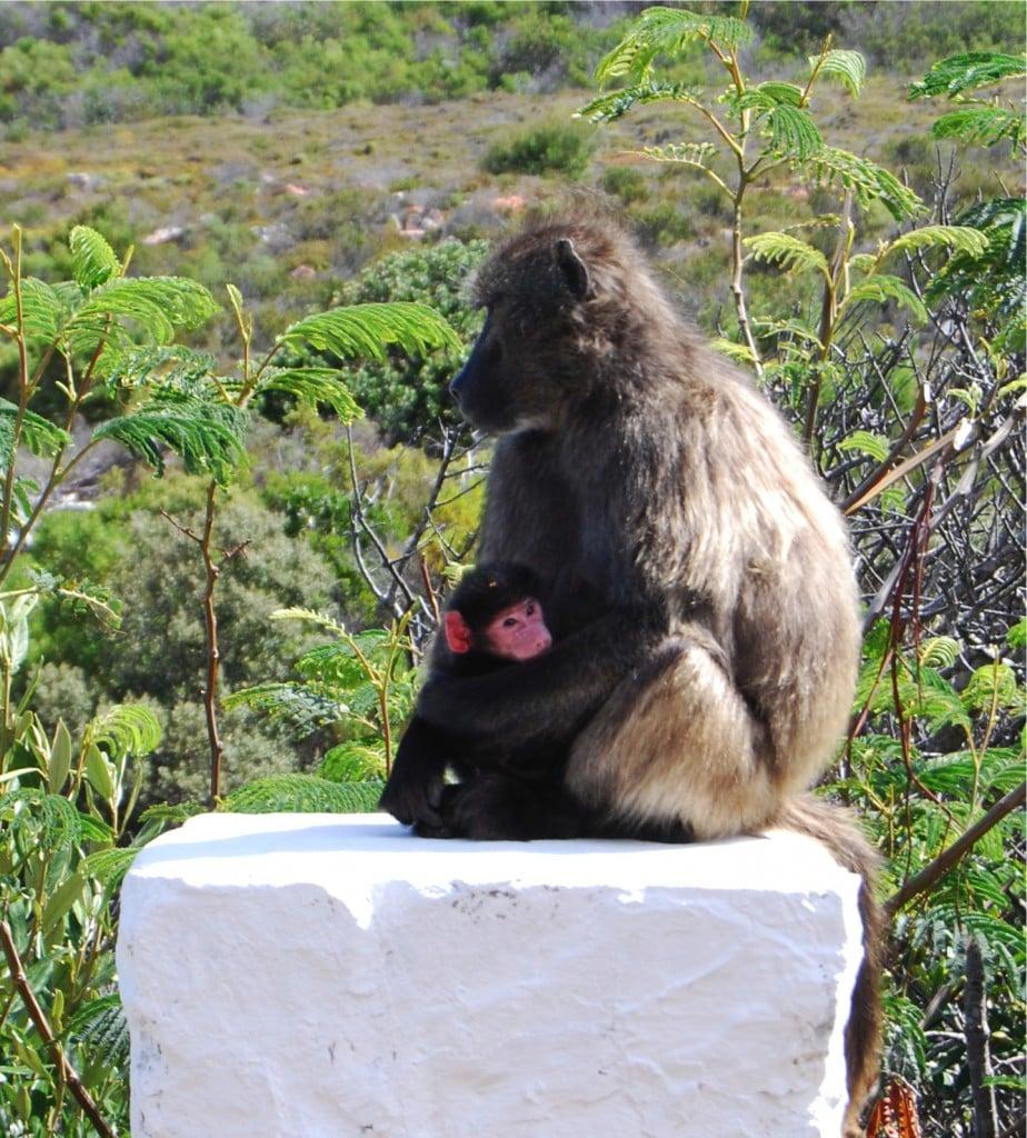 Baboon photo